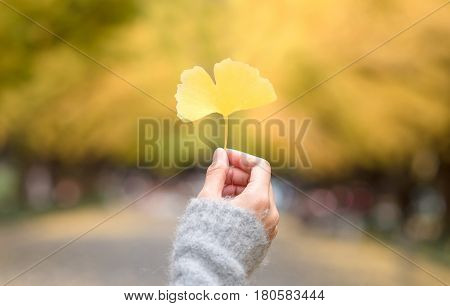 Asian women holding autumn yellow ginkgo leafs on hand with blurred ginkgo tree in background