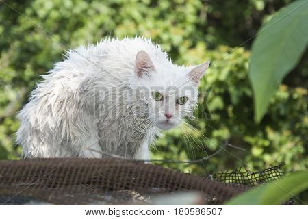 Wet white cat on the stree t.