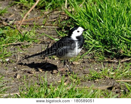 Pied wagtail standing amongst grass during early spring