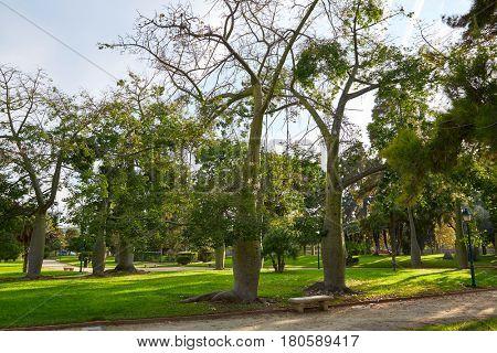 Ceiba trees in Turia river park of Valencia at Spain