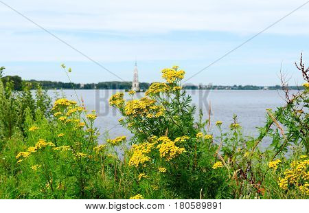 Thickets of flowering tansy on shore of Uglich reservoir (on background flooded bell tower of St. Nicholas Cathedral) Kalyazin Russia
