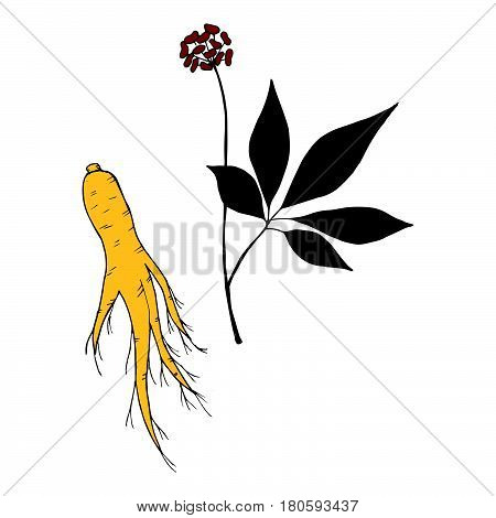 Root and leaves panax ginseng sketch style. Hand draw vintage illustration of medicinal plants in color. For traditional medicine gardening. Biological additives are.