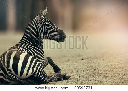 Zebra from horses family. Face curious zebra. animal on the picture. (disambiguation). Sitting zebra.