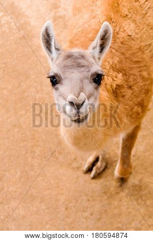 Close up of the beautiful guanaco (Lama guanicoe) looking at camera
