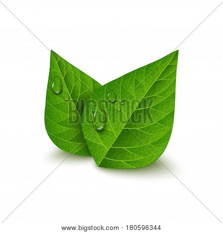 Green tea leaves with water drops isolated on white background. Morning dew, fresh spring foliage. Vector illustration.