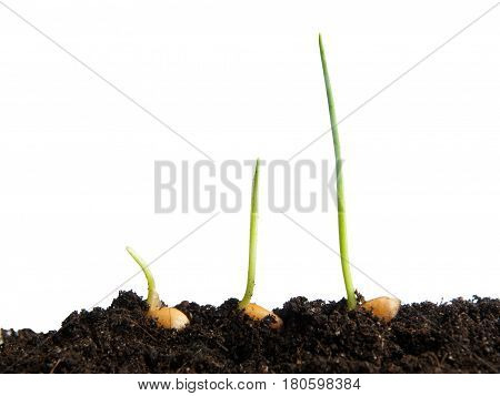 Wheat seeds germination isolated on white background