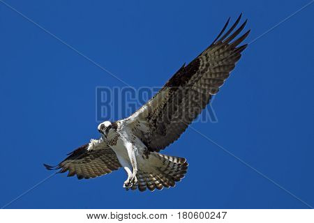 Beautiful osprey soaring in the sky over Fernan Lake in Idaho searching for fish.
