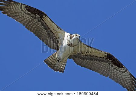 Osprey soars up high in the sky over Fernan Lake in Idaho searching for fish.