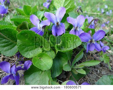 Fragrant violets wild flower (English Sweet Violets, Viola odorata).
