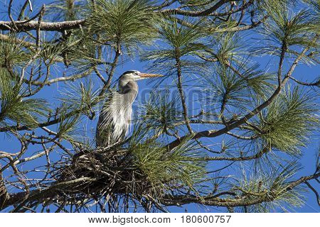 A great blue heron sits in a tree in north Idaho protecting the nest.