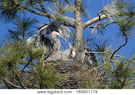 Herons building nest by Fernan Lake in north Idaho.