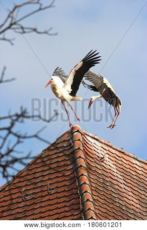 two storks fight on a roof ridge wings stretched out
