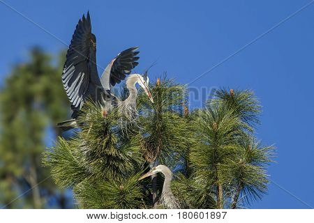 Heron lands in tree with stick by Fernan Lake in north Idaho.