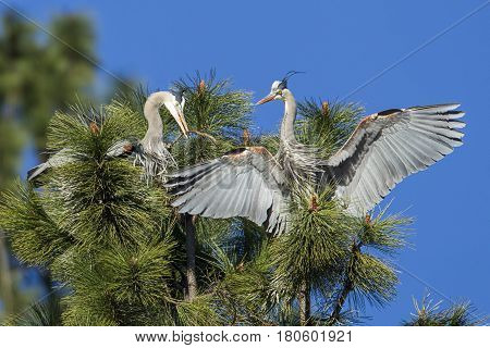 Heron gives stick to mate by Fernan Lake in north Idaho.