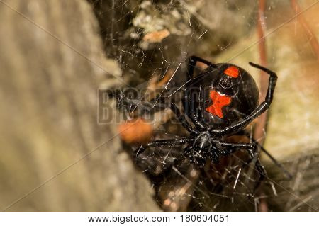A close up of a  Black Widow Spider