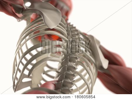 Human anatomy body. Muscular and skeletal system. Professional lighting. 3d illustration.
