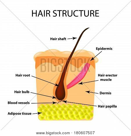 The structure of the hair. Infographics. Vector illustration on isolated background.