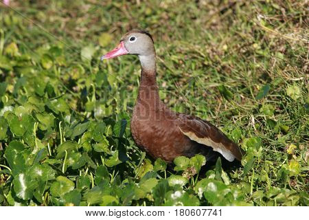 A Black-bellied Whistling Duck among aquatic plants near a pond in Florida