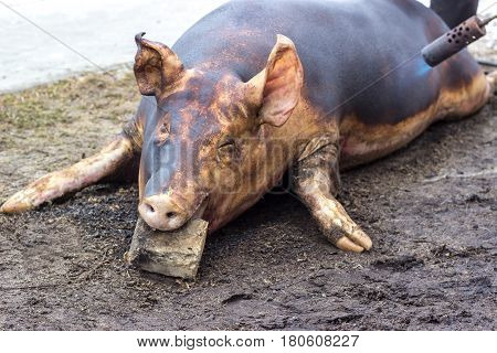 Pig killing. Slaughter fiering the skin of the pig to remove the hair.