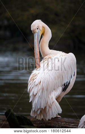 White pelican (Pelecanus onocrotalus). The pelican cleans the feathers.