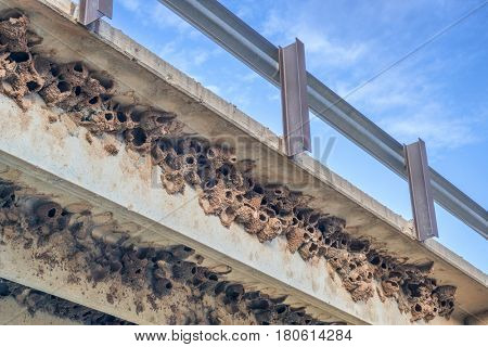 clusters of cliff swallow mud nests under concrete highway bridge