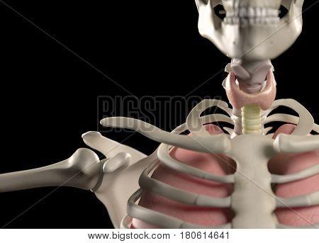 Anatomy body human. Ribs, neck, thyroid, torso and shoulder. Skeletal system. 3d illustration.