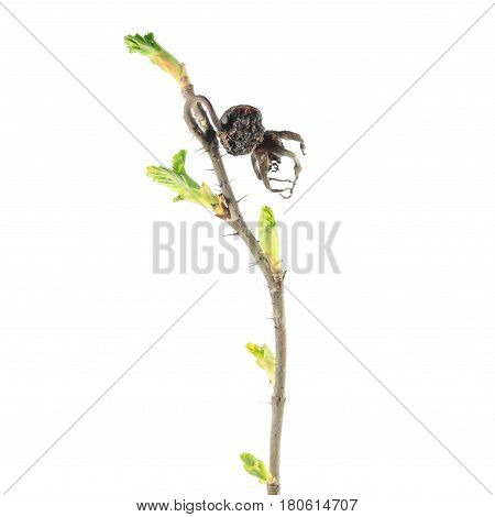 Spring branch of rose with dry hips and fresh green buds isolated on white background. Spring awakening of plant