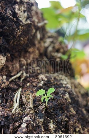 Small green trees growing from dirty cracking area ground. Life renewal new generation born reborn and recovery concept as a green leaf.
