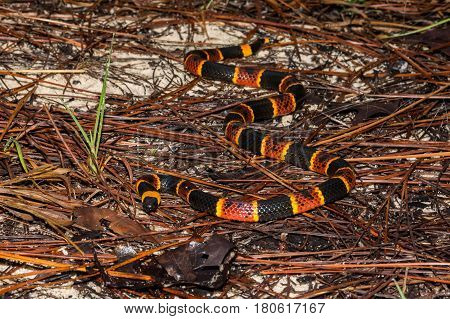 An Eastern Coral Snake in the sand hills of Florida.