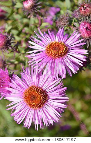 Flowering asters Austrian summer, top view. Selective focus