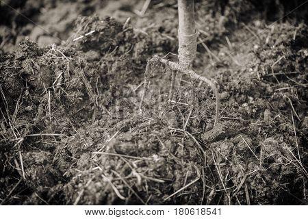 Old Steel Pitchforks In A Pile Of Manure , Fertilize Fields