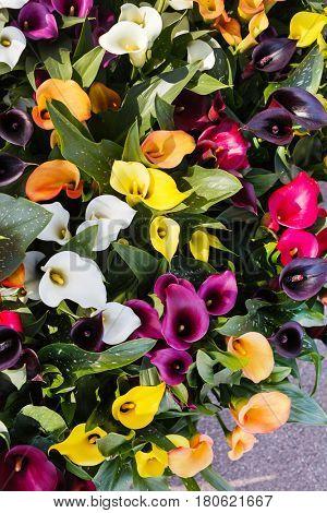 calla flowers