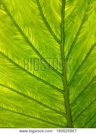 Green Leaf Natural Background. Backlight Greenery Contrast Texture. Fresh Summer Or Spring Pattern.