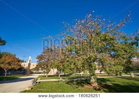 Valencia ceiba tree flowers at Turia park gardens view in Spain