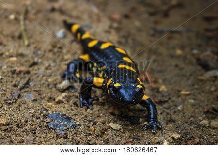 European spotted fire salamander in his habitat