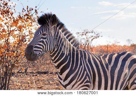 Zebra From Kruger National Park, Equus Quagga