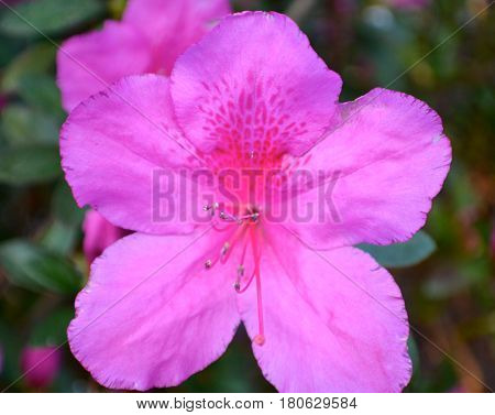 Genus Rhododendron, Azalea Springtime bloom, Beautiful springtime.