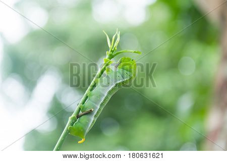 Caterpillar Green Eating