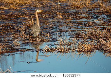 Great Blue Heron (Ardea herodias) standing in a Wisconsin marsh