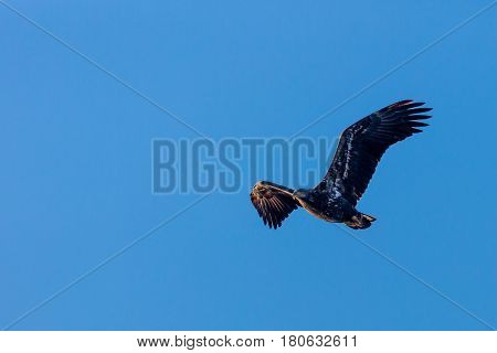 Young Bald Eagle (Haliaeetus leucocephalus) flying across a blue sky
