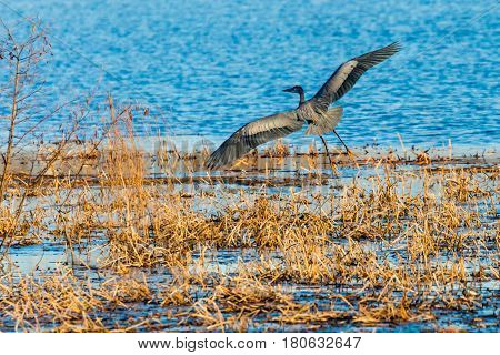 Great Blue Heron (Ardea herodias) coming in for a landing on a lake in Wisconsin