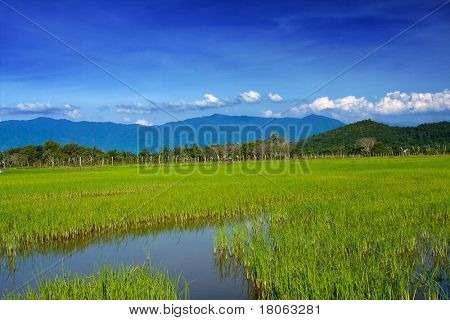 Golden field of young padi plant sprawled against the mountaineous range of Mount Kinabalu, Sabah Malaysia.