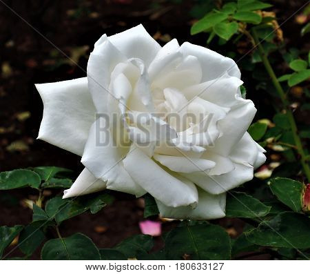 A beautiful white rose in a garden (in Kodaikanal, Tamil Nadu).