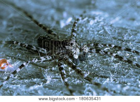 Acantholycosa lignaria is a species of wolf spider. It is a widespread species of central and northern Europe.