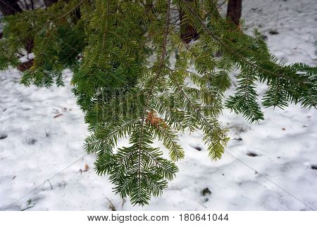 The needles of a balsam fir tree (Abies balsamea) in the Naas Raunecker Nature Preserve in Harbor Springs, Michigan during November.