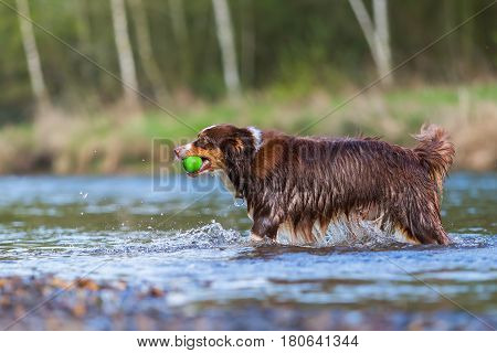 Australian Shepherd With Ball In The River