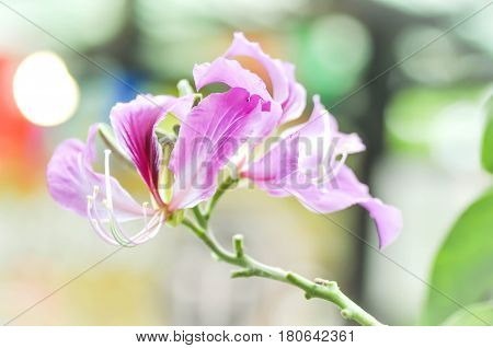 Bauhinia purpurea Orchid Tree or Purple Bauhinia flower