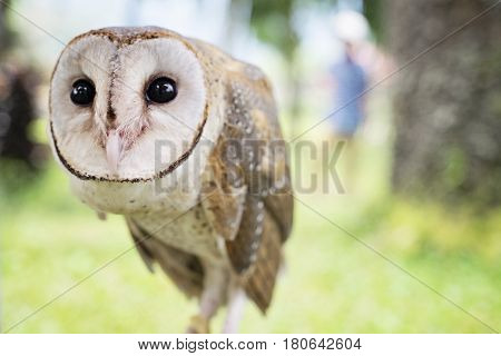 A common barn owl on the stick