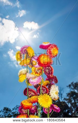 Beautiful bouquet of colorful dry straw flowers or everlasting over blue sky with clouds and sunlight. Outdoor at the daytime on summer day. (Helichrysum bracteatum)
