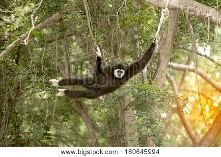A white-handed gibbon (Hylobates lar) hanging on tree.